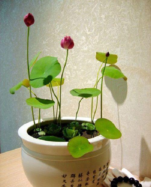 Вырастить лотос в домашних условиях